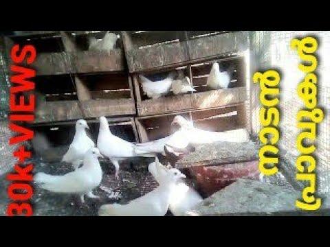 PIGEON NADAN . MENACHERY PETS FARM LALOOR THRISSUR KERALA INDIA 9388554349.JOSE.9544539090.PAUL
