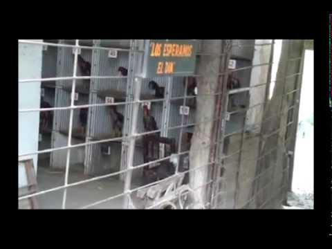 Riñas de gallos en Tucumán 2013.
