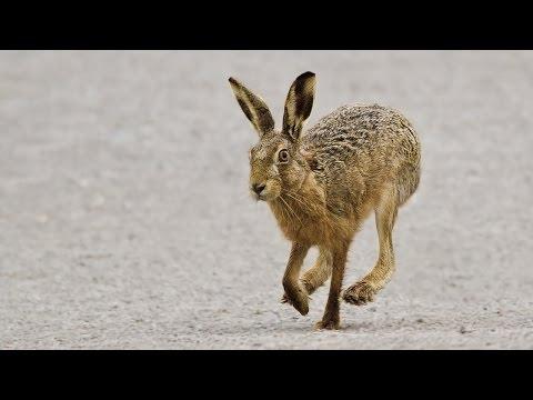 Охота � а зайца. Стрельба по зайцу. Самые яркие моме� ты. Сезо� 2014 2015. Ходовая охота. ТОЗ 34