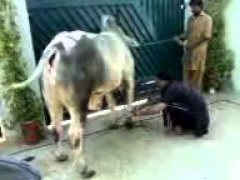Qurbani 2010 shared by Artistic Edge .3gp