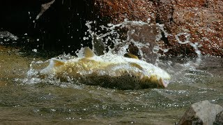 Huge Trout Eats Mice | Wild New Zealand | BBC Earth