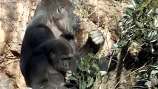 #03. Female gorilla