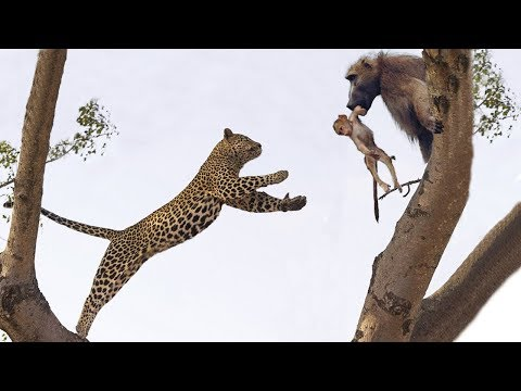 Leopard too foolish Climb on Tree to Attack Baboon Leopard vs Baboon Real Fight 2019