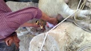 Pig castration.