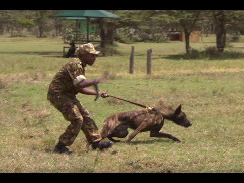 Xxx Mp4 DANGER Rapid Response Dog Unit In Kenya This Wild Life BBC Earth 3gp Sex