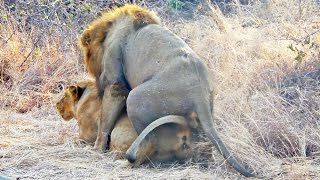 Lions Mating Next to the Road - Extreme Close Up