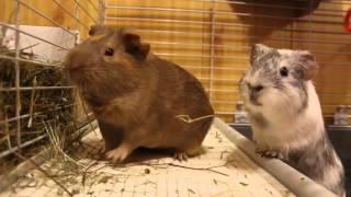 Lulu i Bubu ustalają, który z nich rządzi  (świnki morskie)