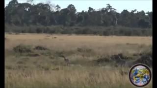 Cheetha hunting