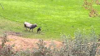 Calf shocked by electric fence