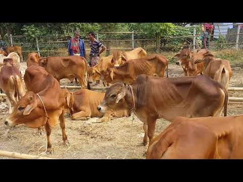 Xxx Mp4 516।Cow Price Very Low।খুব কম দামে গরু পাওয়া যাচ্ছে বাজারে।Cow Video। Animal Video।Cow Market 2018 3gp Sex