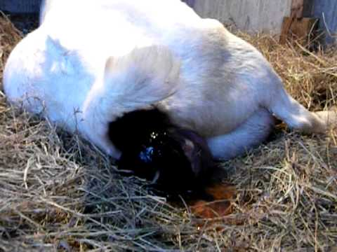 Drama Mama Boer Doe Kidding Twins