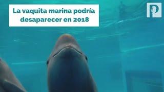 La vaquita marina, especie 100% mexicana, podría desaparecer en 2018 - Proyecto Puente