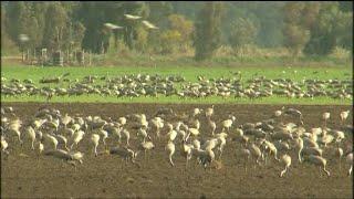 لماذا تحط الطيور المهاجرة في إسرائيل قبيل رحلتها نحو أفريقيا؟