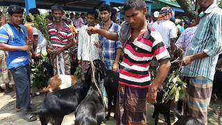 Goat video।অনেক কম দামে ছাগল কিনুন ও সাক্ষাৎকার দেখুন।নওহাটা বাজার রাজশাহী
