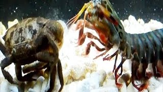 Huge Crab in Fish Tank | Kekada