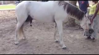 HORSE castration  horse sedation           تخصية الخيل