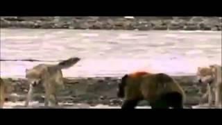 ذئاب فى معركة مع الدب الرمادى