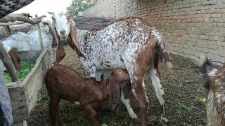 Low cast Goat farming in pakistan urdu/hindi
