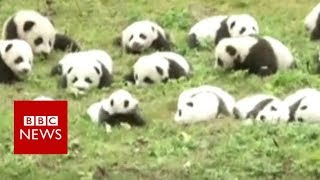 Dozens of pandas on parade- BBC News
