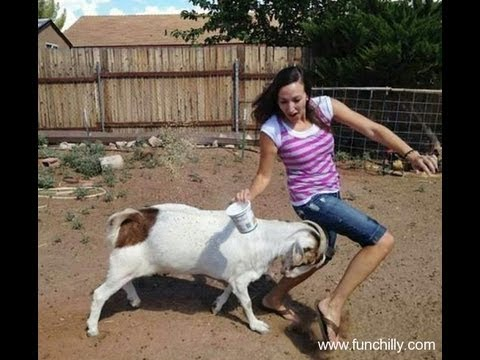 Hilarious!! Crazy Ass Goat Terrorizes People in the streets! Real Life Mountain Dew attack Goat!
