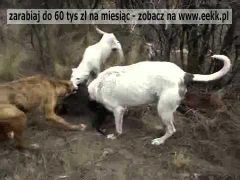 Nieuczciwa walka małego Dzika z czterema psami myśliwskimi.