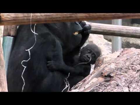 Xxx Mp4 Polarfuchs Mit Eltern Ronja Und Yaqui Mama Bagira Mit Ihrem Sohn Nikita Tierpark Hellabrunn 3gp Sex