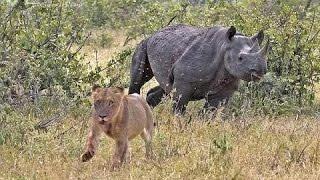 Documentary lion: lion vs rhino - Animal Film genre