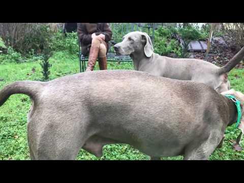 Die Zeugung - Hundehochzeit Verpaarung bei Hunden,