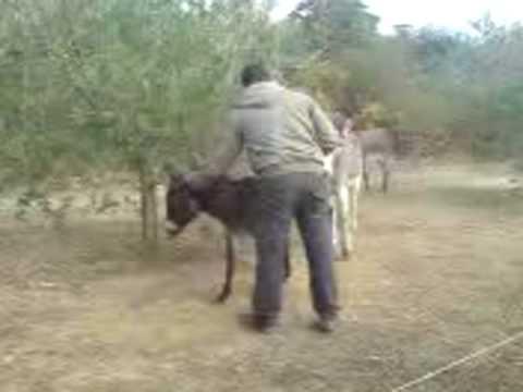 Gremo jahat magarca 1