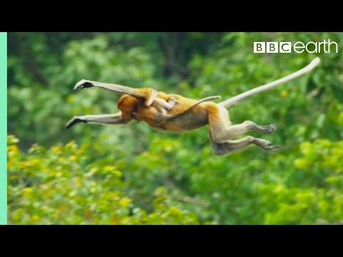 Proboscis Monkeys Leap Into Crocodile Infested River BBC Earth