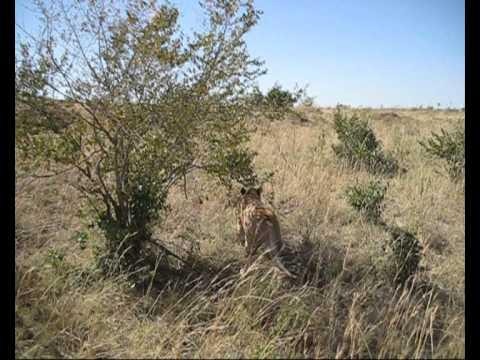 Masaï Mara 2ème jour rendez vous intime