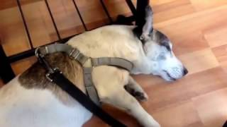 Cukulat - Tired Boss Jack Russell   slept  in  the dog behaviours  workshop