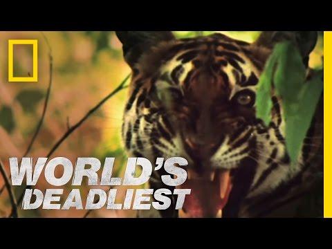 World s Deadliest Tiger vs. Monkeys