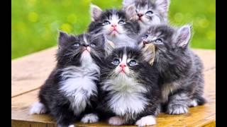 Kucing Persia Imut dan Lucu Banget