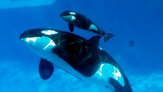 Amazing Orca Killer Whales In The Wild [Wild Ocean Documentary]