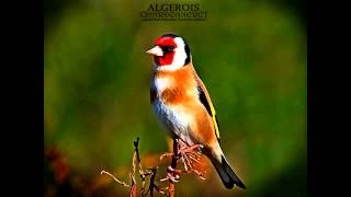 Chant Chardonneret Sauvage Khalwi حسون Goldfinch Jilguero تغريد مقنين خلوي Download Mp3 Mp4 3GP HD Video