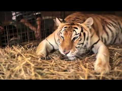 Un uomo aiuta una tigre a partorire e