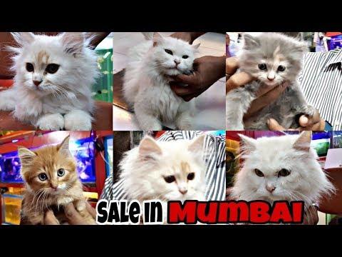 Xxx Mp4 Persian Cats For Sale In Mumbai Perisan Cats Care Doll Face Persian Cats Exotics World 3gp Sex