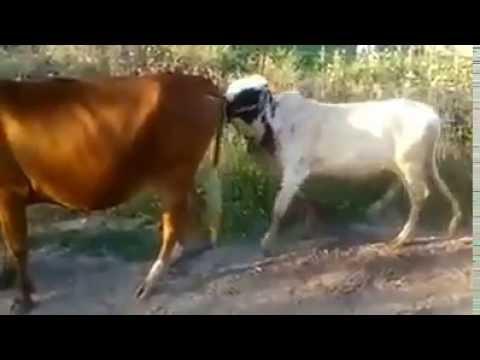 Xxx Mp4 Bull Fight During Sxx 3gp Sex