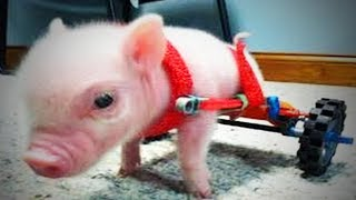 Funny Pigs 🐷 😂  Cute and Awesome Pigs (Part 1) [Funny Pets]