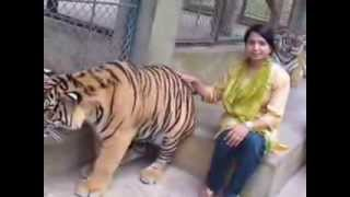 Playing with Royal Bengal Tiger.....