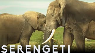 Tembo The Elephant Is Accepted by New Herd | Serengeti: Story Told by John Boyega | BBC Earth