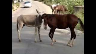 cavalo e jumento namorando, local: Branca Flor