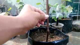 grafting grape