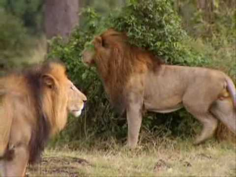 Leões Parte1 7 Território Selvagem Discovery Channel