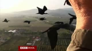 Por que bandos de aves voam em formato de V?