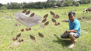 Quail (Pugo)  -Modern breeding  methods and breeding tips