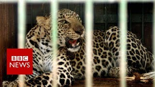 Leopards v farmers in India