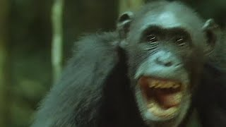 Chimps Hunt and Eat A Monkey | Trials Of Life | BBC Earth
