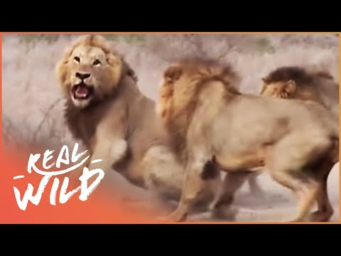 Caught In Act Wild Animal Documentary Real Wild
